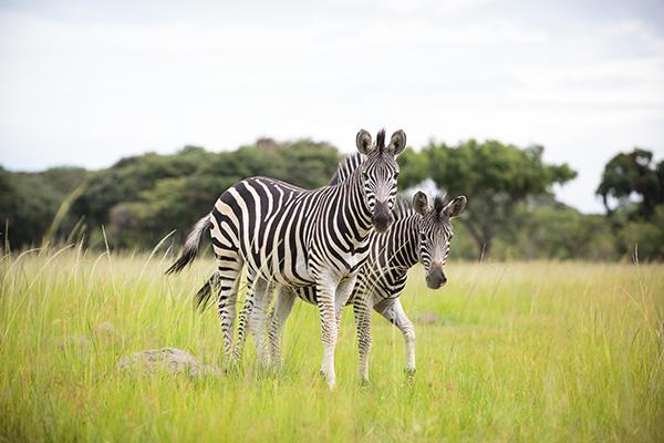 zebras_sm.jpg