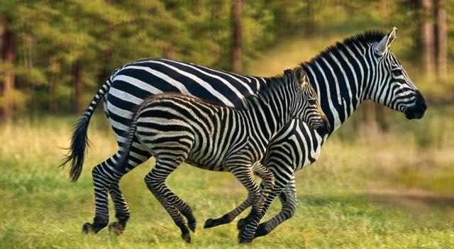 where-do-zebras-live-picture.jpg