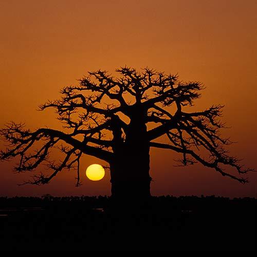 baobab-500.jpg
