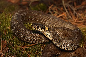 290px-Grass_Snake_-_Natrix_natrix.jpg