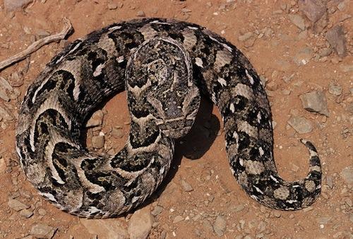 Vipère-heurtante-Serpent.jpg