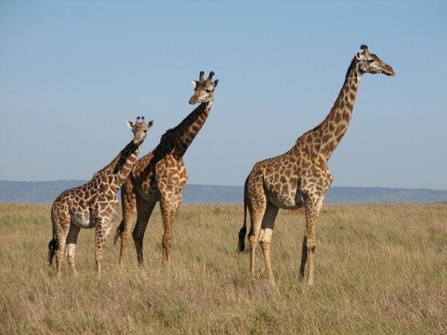 1309524-Girafe.jpg
