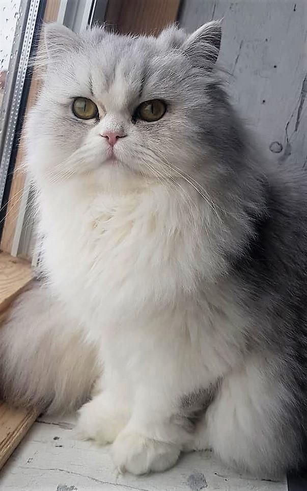 Fleur est une très jolie chatte, elle manque cruellement a ses maitres domiciliés Place du Marché a Le Bizet.