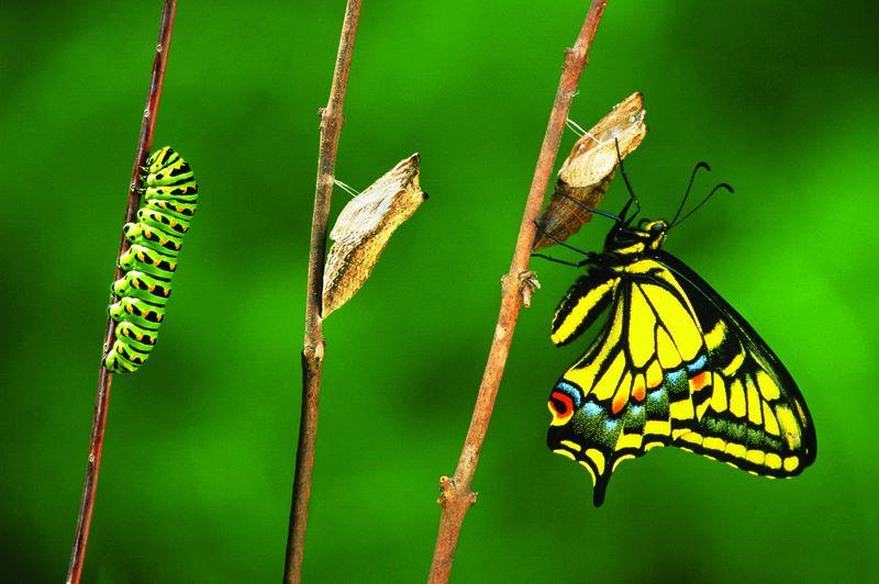 chenille à papillon.jpg