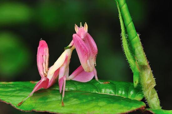 Asian orchid mantis.jpg