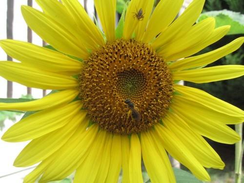 jaune et abeille1.jpg