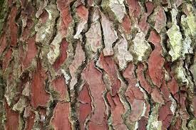 écorce pin sylvestre.jpg