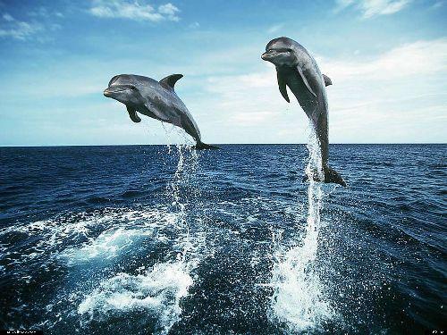 Les dauphins : une des splendeurs de la création...