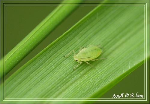 Le Puceron Vert