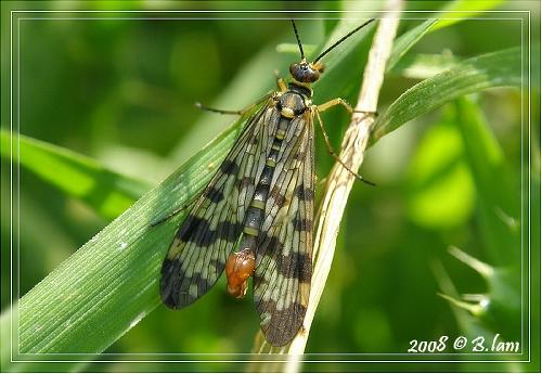 La Panorpe Mâle ou Mouche Scorpion