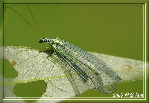 La Chrysope Verte (Chrysoperla Carnea)