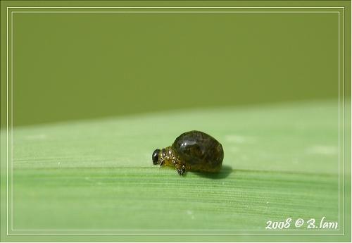 Petite Larve (taille réelle 2mm) Inconnue
