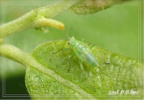 Petit Insecte trouvé proche des Cicadelles Ecumeuses
