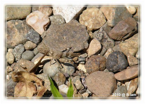 L'Oedipode Bleu  - L'Art du camouflage