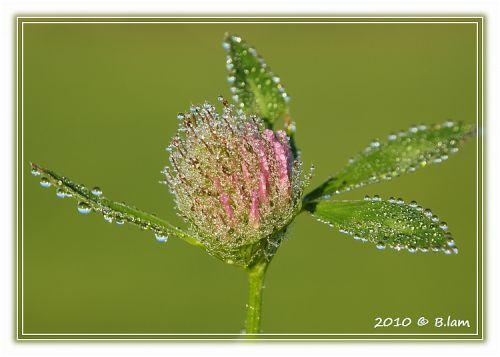 Trèfle Cristalisé par la Rosée du Matin