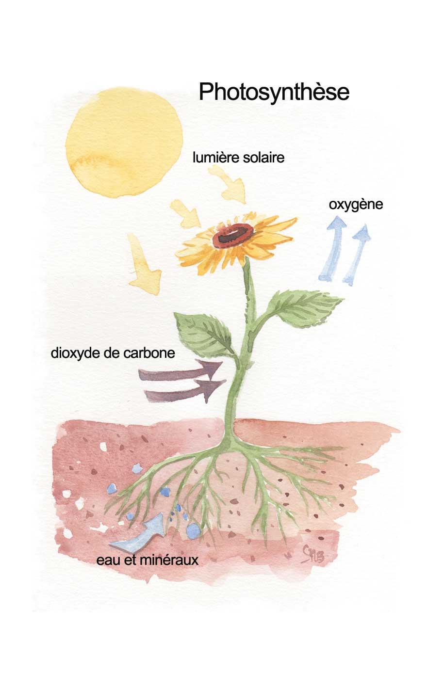 Annexe-1---photosynthese.jpg