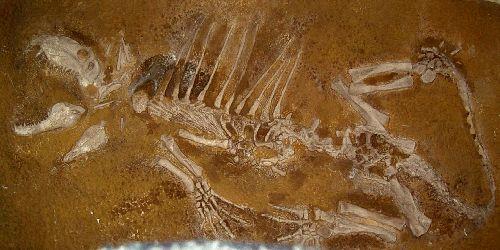 <font color=red> Jeune Dimetrodon Permien du Texas