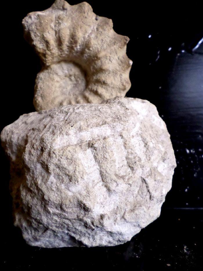 Acanthoceras Rhotomagense du cap de La Hève LE HAVRE 9,5 cm
