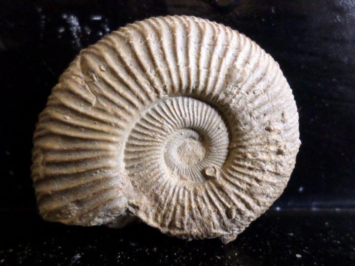 Dichotomoceras bifurcatus  4,2cm