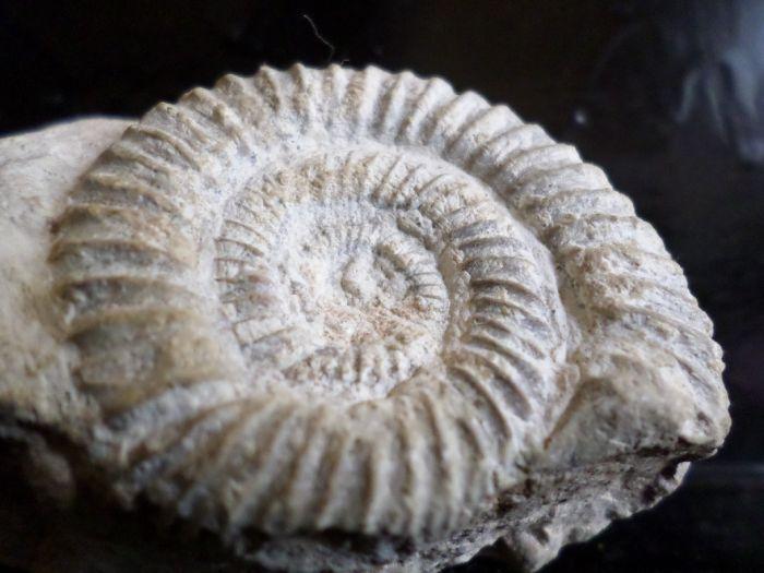 Dichotomoceras bifurcatus  4,7cm