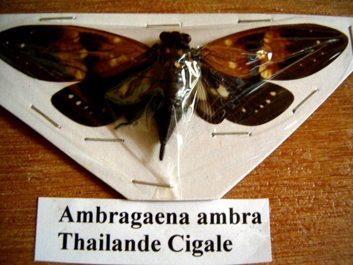 Ambragaena ambra - Wang Pao- Thailande 98mm