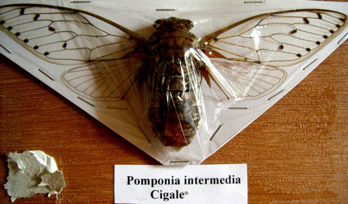 Pomponia intermedia - Wang Pao- Thailande 168mm