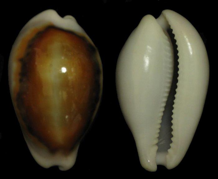 103 Neobernaya spadicea-48-Santa Cruz,Californie