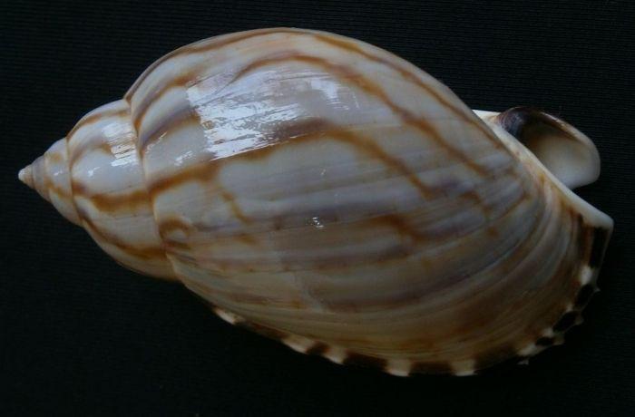 Casmaria erinacea vibex 61mm Olango Cebu