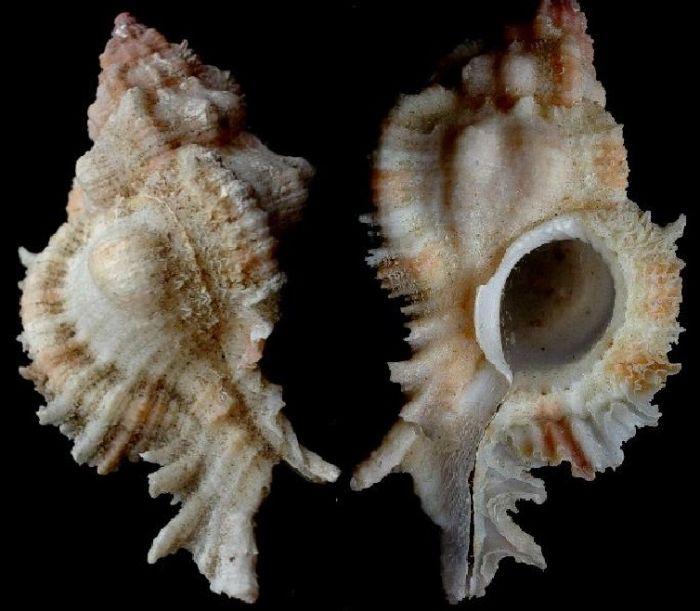Chicomurex venustulus 54 Aliguay isl 2007 Philippines