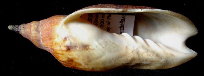 Alcithoe arabica 110mm Opatiki Plenty bay Nlle Zelande