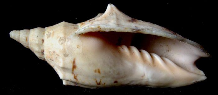 Alcithoe arabica depressa 83mm Doubtess bay,Nlle zelande