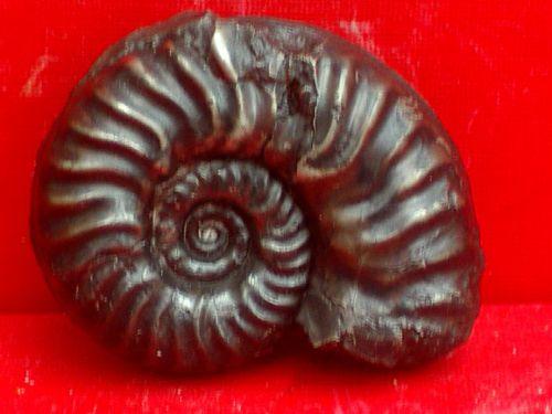 Brodieia lehmanni zone à variabilis H XVII (St Paul des Fonts)