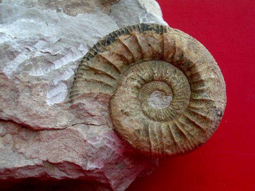 Orthosphinctes ( ardescia) desmoides 6cm Neumarkt ALL