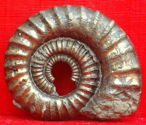 Crucilobiceras 3cm Charmouth Dorset GB