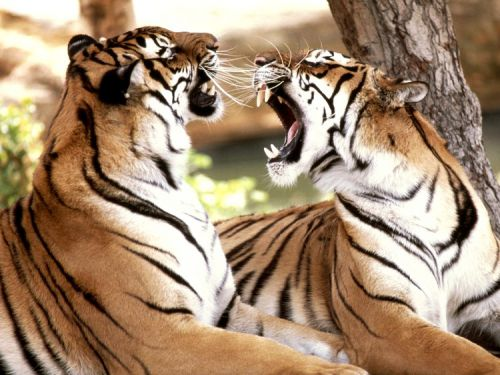 Entre tigres...