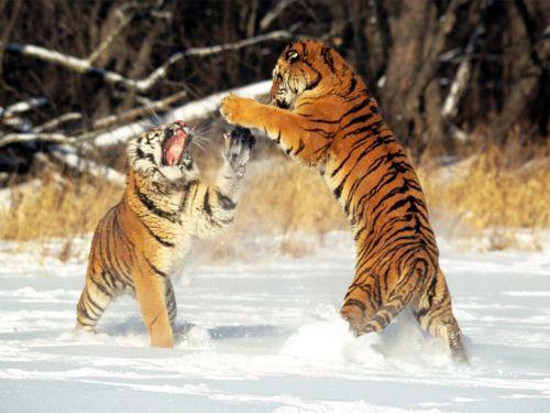 Impressionnante dispute dans la neige