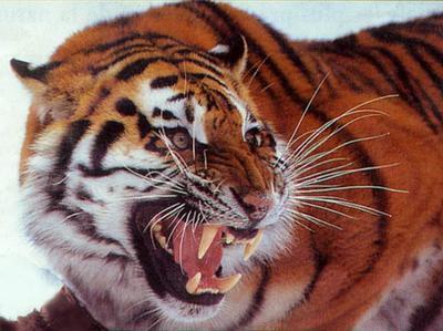 Tigre rugissant