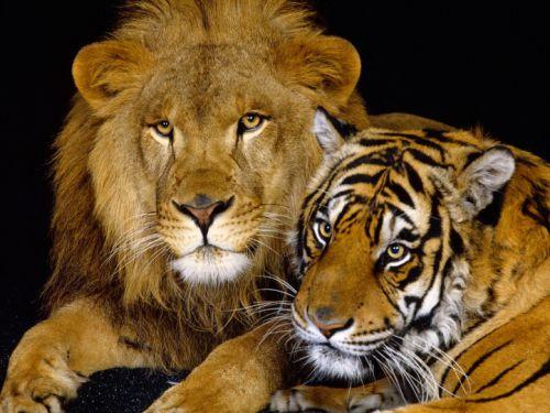 Deux majestueux félins