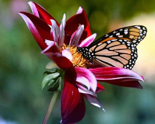 fleur-et-papillon-253d5a2.jpg
