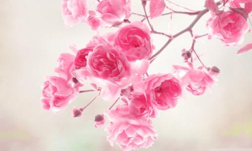 pretty-pink-roses-roses.jpg