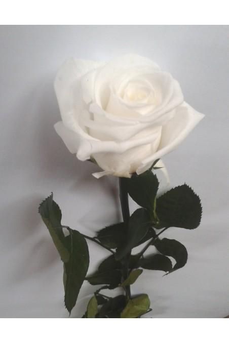 rose-eternelle-blanche.jpg
