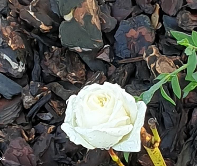 Roseblanchette.jpg