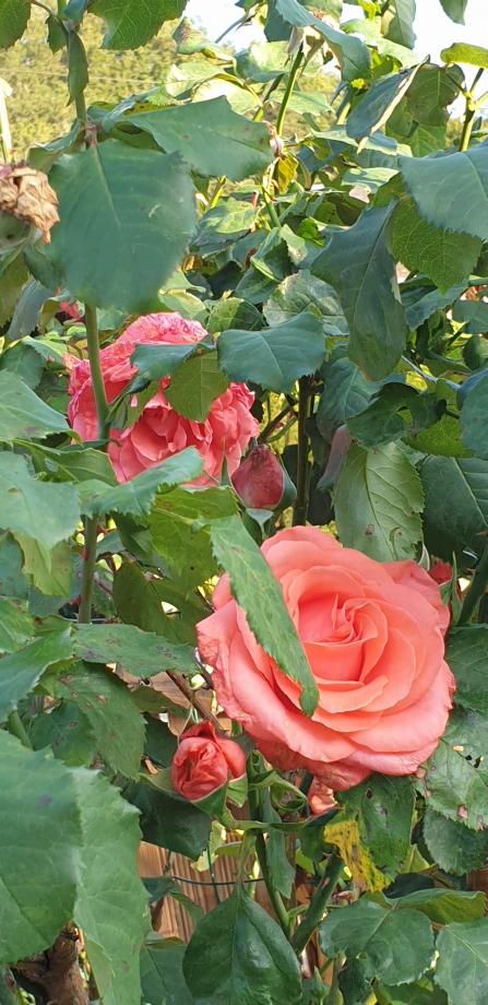 Rosefatale.jpg