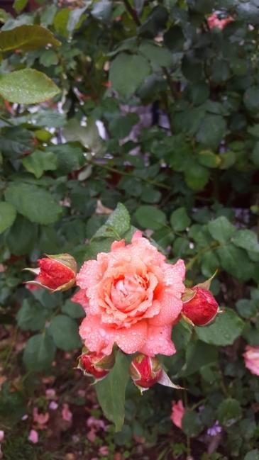 Et mon amie la rose...