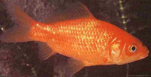 mon poisson rouge,maintenant décédé
