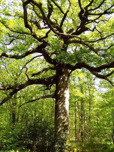 Le chêne millénaire de la Forêt de Paimpont.