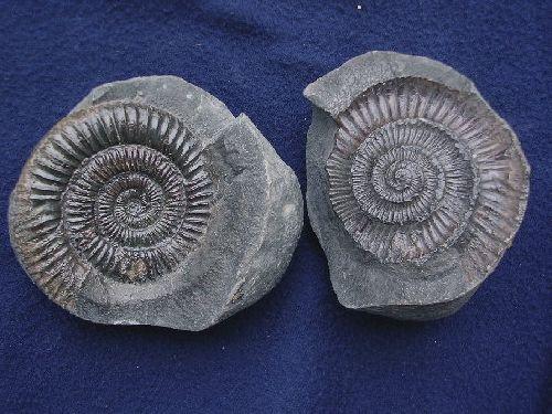 Dactylioceras, G.B.