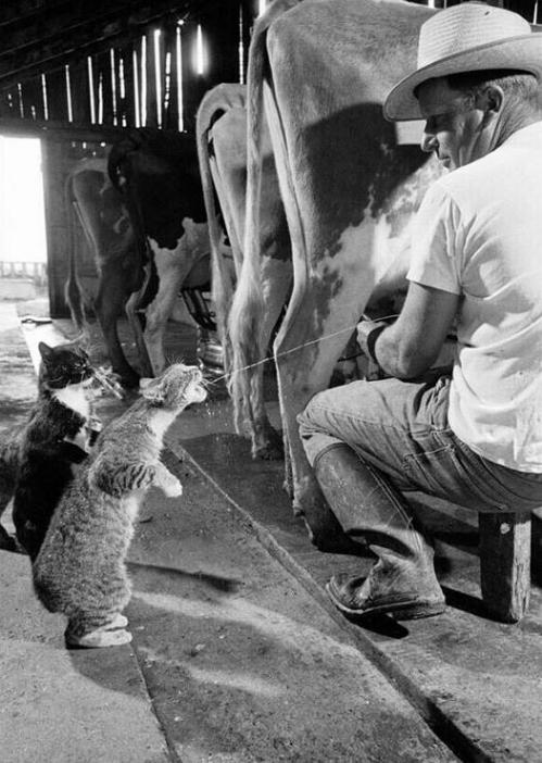 les chats aiment le lait.JPG