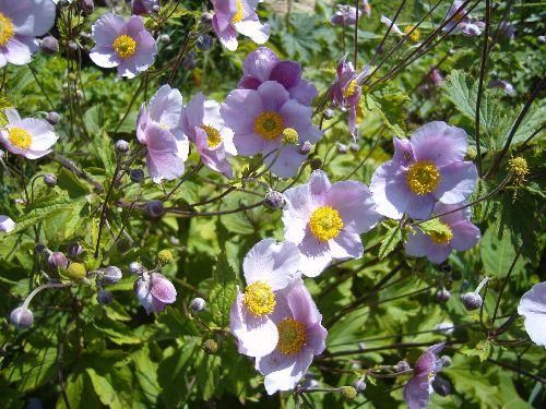 Les  Anémones du Japon été 2007