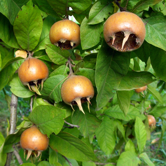 nefle_fruit_560.png